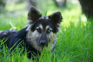the wild in a german-shepherd-husky